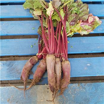 Long Beetroot